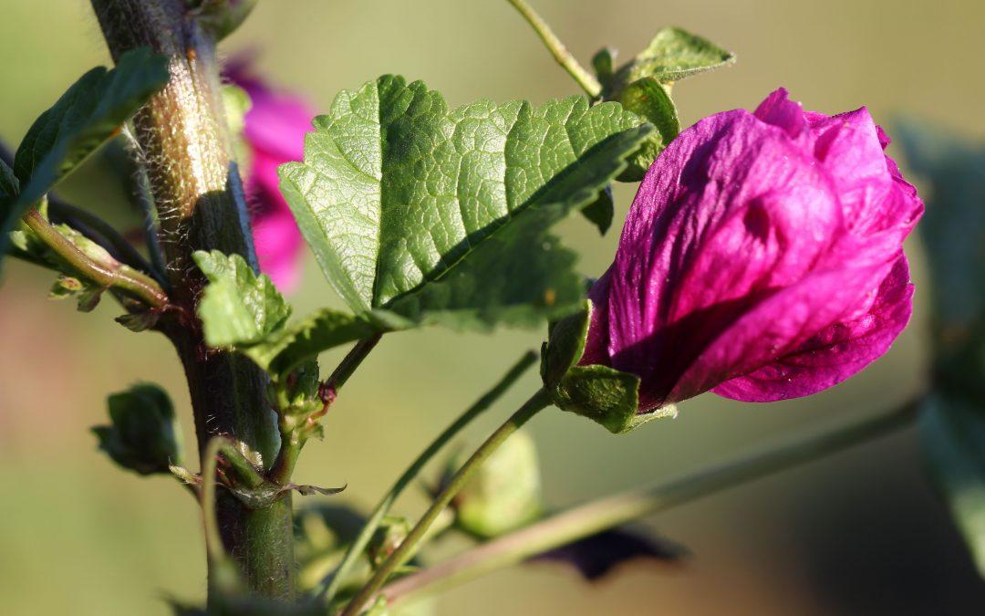 Fleur de Gadji